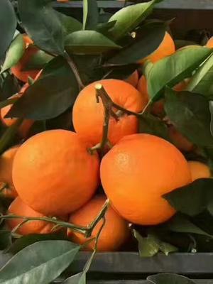 湖北省宜昌市夷陵区秭归脐橙果园看货现场 60 - 65mm 4-8两