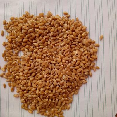 天津武清区普通小麦