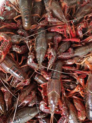 这是一张关于中国龙虾 国产 0.4斤/只以下的产品图片