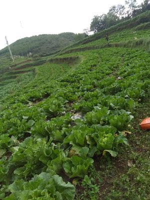 贵州省毕节市威宁彝族回族苗族自治县北京三号大白菜 2~3斤 净菜