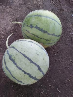 这是一张关于早春红玉西瓜 有籽 1茬 9成熟 10斤打底的产品图片