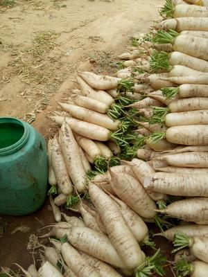 山东省德州市陵城区白萝卜 1.5~2斤