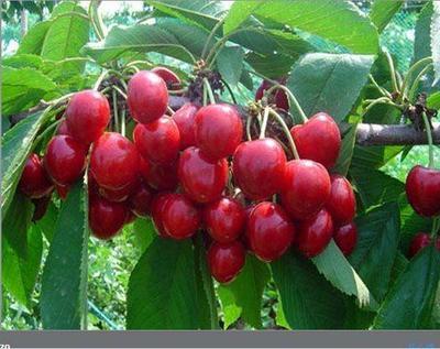 这是一张关于樱桃树苗樱桃苗的产品图片