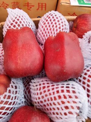 河南省开封市杞县花牛苹果 纸+膜袋 全红 80mm以上