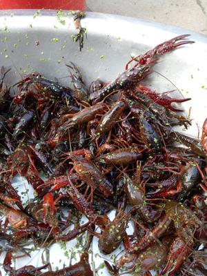 这是一张关于红壳小龙虾 野生 5-7钱的产品图片