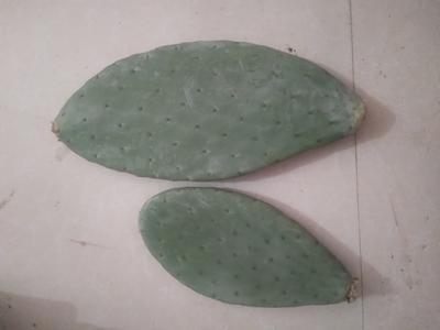 河南省周口市川汇区墨西哥米邦塔食用 20~30公分
