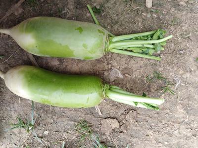 河南省周口市沈丘县青皮绿萝卜 1~1.5斤