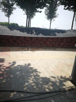 河南省焦作市孟州市红皮洋葱 8cm以上 红皮 4两以上