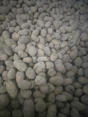 这是一张关于湖北土豆 1~2两的产品图片