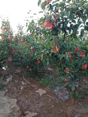 这是一张关于蒲城酥梨 400-450g 70mm以上的产品图片
