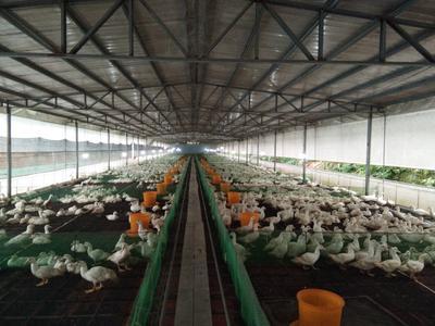 福建省龙岩市新罗区白番鸭 母 全圈养 3-4斤