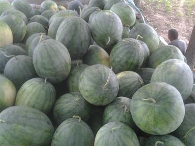 这是一张关于龙卷风西瓜 有籽 1茬 8成熟 10斤打底的产品图片