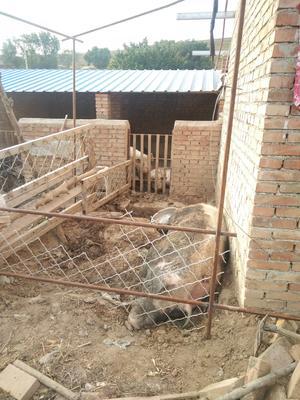 山西省忻州市神池县土猪 200-300斤
