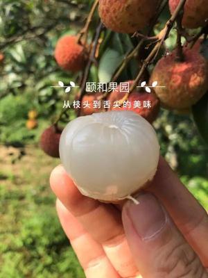 浙江省衢州市柯城区桂味荔枝 1.5cm