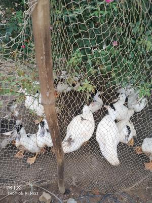 广东省惠州市博罗县泥鸭 统货 全圈养 7-8斤