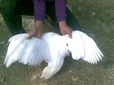 安徽省六安市霍山县番鸭 公 全散养 9-10斤