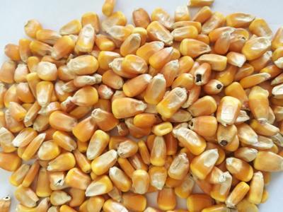 安徽省亳州市谯城区玉米干粮 霉变≤2% 净货