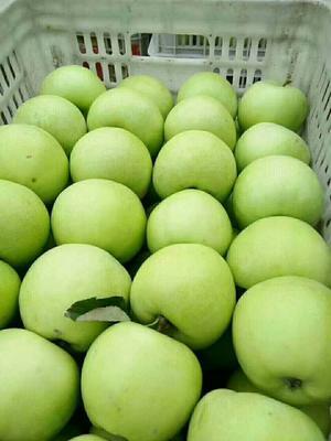山东省临沂市沂南县辽伏苹果 膜袋 条红 65mm以上