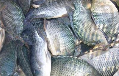 这是一张关于吉富罗非鱼的产品图片