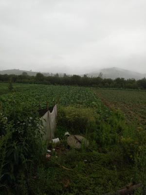 云南省文山壮族苗族自治州文山市毛芋头 3cm以上