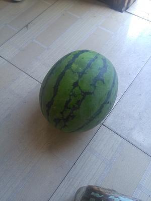 湖北省荆州市公安县8424西瓜 有籽 2茬 9成熟 8斤打底