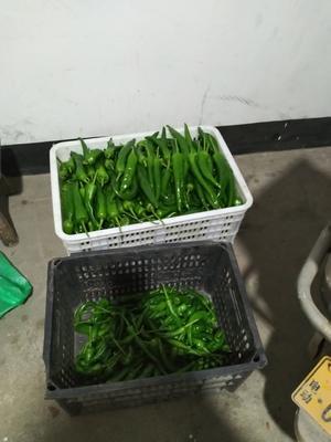 这是一张关于羊角椒 10~15cm 靑色 微辣的产品图片