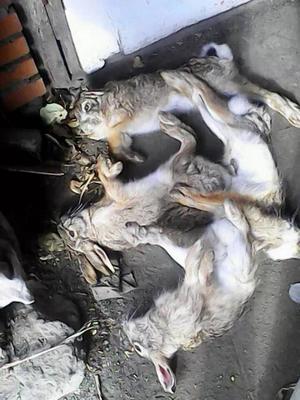 这是一张关于野兔 3-5斤的产品图片