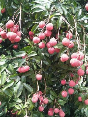 广西壮族自治区玉林市北流市六月红荔枝 2cm