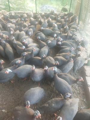 湖南省邵阳市隆回县灰色珍珠鸡 2-4斤