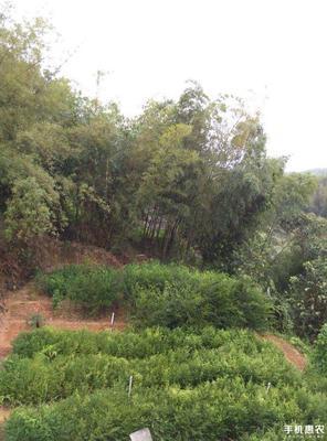 广西壮族自治区桂林市荔浦县南方红豆杉 1~1.5米