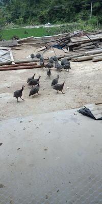 江西省赣州市上犹县灰色珍珠鸡 2-4斤