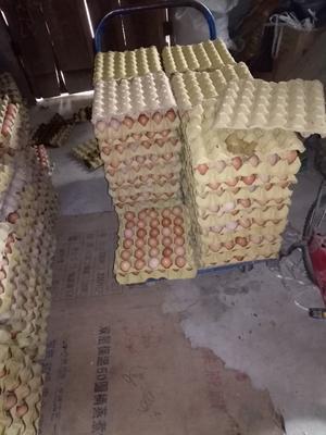 陕西省商洛市洛南县红皮鸡蛋 食用 箱装