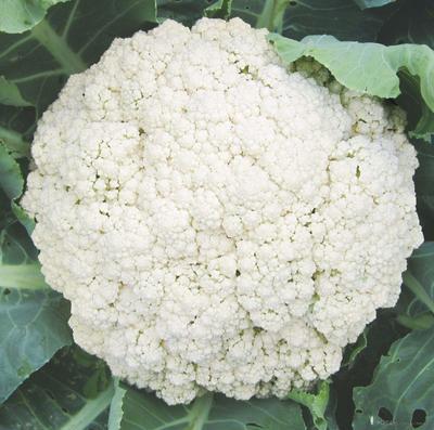河北省张家口市沽源县有机松花菜 适中 2~3斤 乳白色