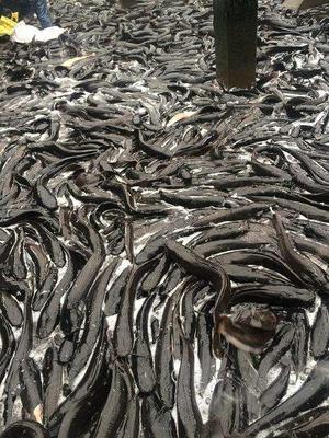 四川省乐山市市中区胡子鲶 人工养殖 0.5公斤以下
