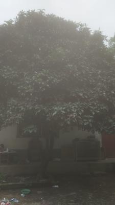 河南省驻马店市泌阳县三十年树龄的石楠树