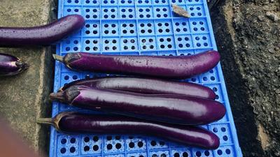 湖南省永州市江华瑶族自治县紫长茄 5两以上