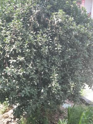 安徽省安庆市宿松县桂花树