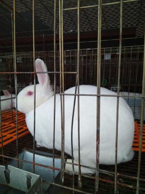 陕西省宝鸡市陈仓区獭兔种兔 3-5斤
