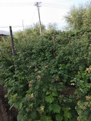 黑龙江省牡丹江市林口县红树莓 鲜果