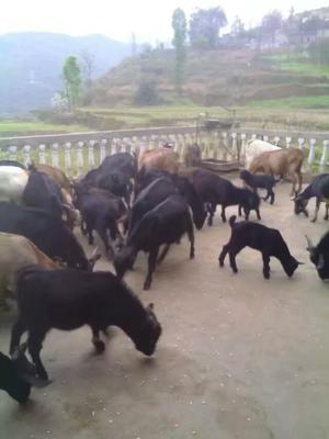 贵州省黔西南布依族苗族自治州晴隆县黑山羊 50-80斤