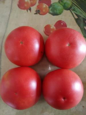 宁夏回族自治区石嘴山市平罗县硬粉番茄 不打冷 硬粉 弧三以上