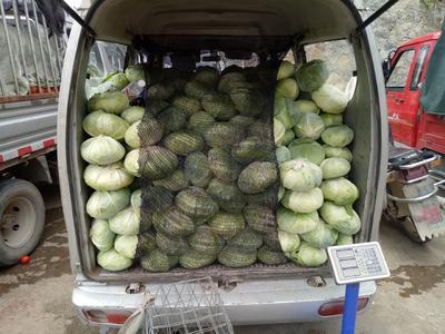 贵州省贵阳市白云区卷心包菜 0.5~1.0斤