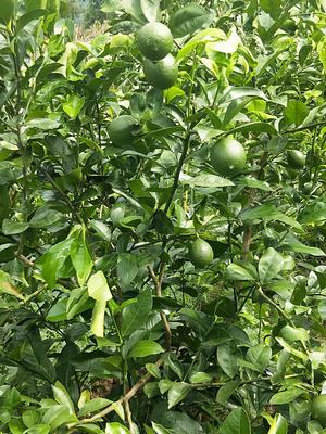 重庆云阳县青柠檬 1.6 - 2两