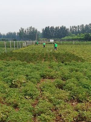 山东省菏泽市牡丹区观赏牡丹 2~4cm 6~8cm 0.5米以下