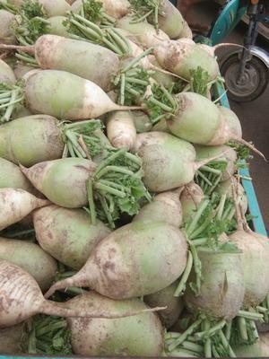 河南省郑州市中牟县白萝卜 1.5~2斤