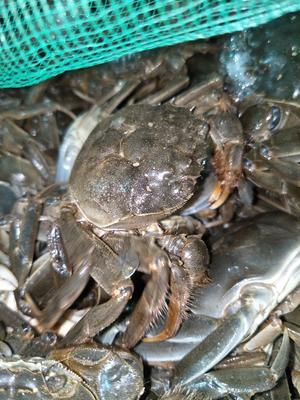 新疆维吾尔自治区阿勒泰地区阿勒泰市野生大闸蟹 2.0-2.5两 统货