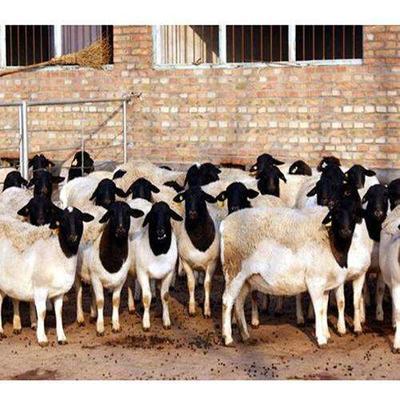 山东省淄博市淄川区黑山羊 80-110斤
