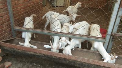 河北省保定市易县奶山羊 30-50斤
