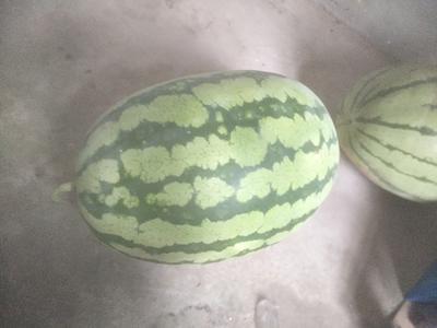 山东省东营市利津县8424西瓜 有籽 1茬 9成熟 4斤打底