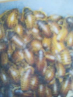 广东省湛江市廉江市杜比亚蟑螂